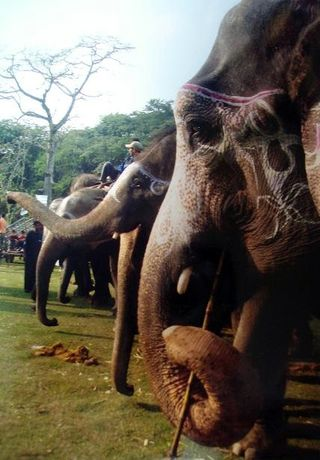 Nepal elephants