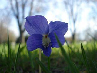 Front yard violet