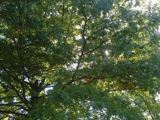 Light through the oak