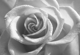 F Black & White Rose 0120