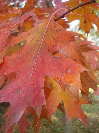 Fall oak