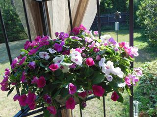 Morning impatiens