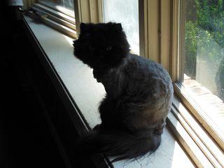Bald cat 1