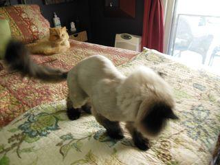 Bald cat 2