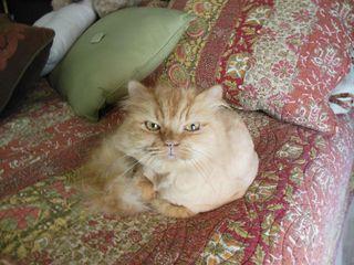 Bald cat 3