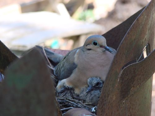 Dove and baby
